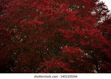 glorious red foliage of an old copper beech