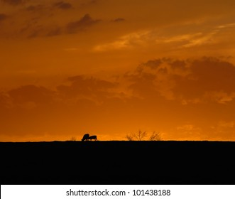 Glorious sunset silhouettes cow and calf as they feed on the hilltop.  Orange light frames them as the sun sets.