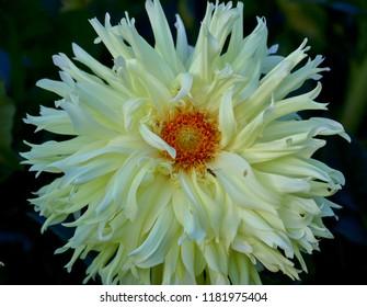 Glorious Yellow Dahlia, closeup