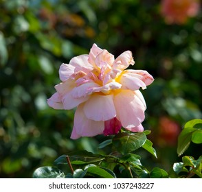 Gloriously magnificent romantic beautiful pale candy pink hybrid tea roses fully blown blooming  in  late autumn adds fragrance and color to the urban  landscape.