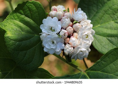 Glory bower (Clerodendrum chinense) or , Rose clerodendrum, Burma conehead, Lady nugent's rose