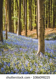 Glory of Hallerbos, small valley full of bluebells under the sun