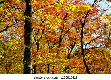 The glory of the woods in autumn colored leaves - Shutterstock ID 1288810429