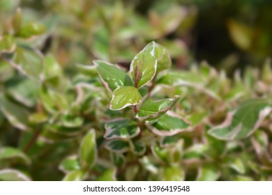 Glossy abelia Magic Daydream - Latin name - Abelia x grandiflora Magic Daydream