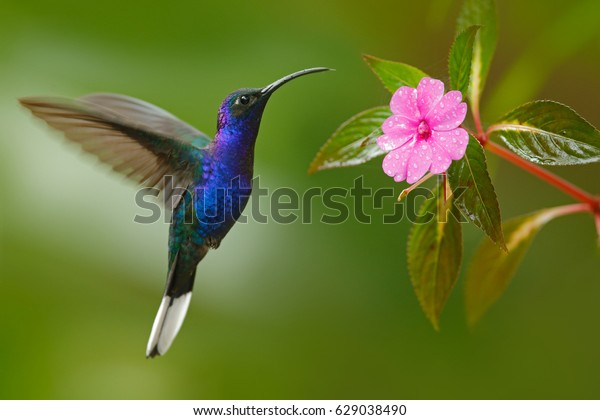 Glossy blue bird in flight. Hummingbird Violet Sabrewing flying next to beautiful pink flower, Costa Rica. Wildlife scene from nature. Birdwatching in South America.