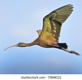 Glossy Ibis in flight. Latin name -Plegadis falcinellus.