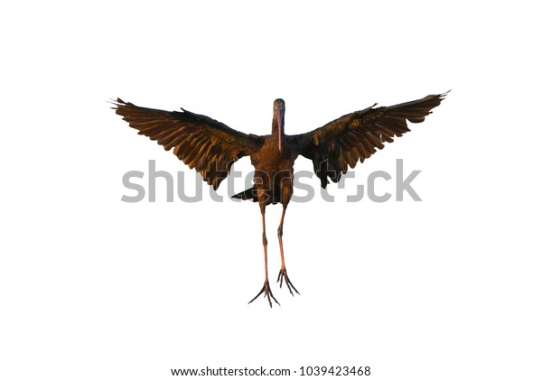 Glossy Ibis flying isolated on white background