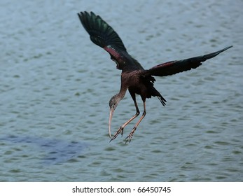 The Glossy Ibis .Landing on water.
