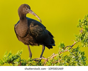 Glossy Ibis in the Trees