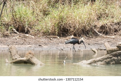 Glossy Ibis wading and feeding along the water's edge in the Corroboree Billabong in the Northern Territory of