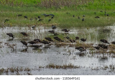 Glossy Ibises feeding in a Winter Pool, a seasonal water body feeding mainly from rains in the winter and attracting  many wading birds, Herzliya Municipal Park, Israel