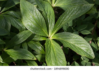 Glossy lush evergreen Hellebore plant leaves, Helleborous Lenten Rose, close-up view from above
