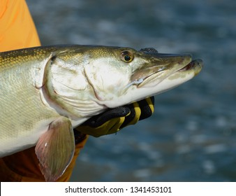 Gloved hand holding a bronze-gold muskie fish head over blue water on a sunny day