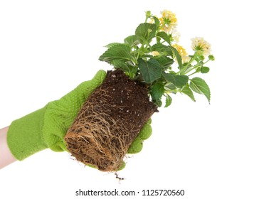 Gloved hand holding potted yellow lantana flower plant, rootbound. Root bound refers to plants roots growing round and round the pot, which halts growth. They need to be transplanted for health