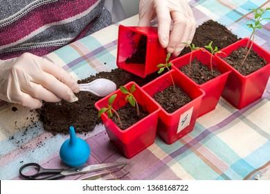 Gloved hands picking tomato seedlings