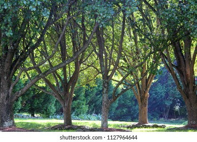 Glowing, back-lit trees in a grove lit up by sunset light on a summer's day in South Carolina.