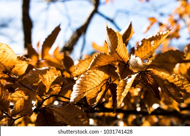 Glowing Fall Leaves in Spring