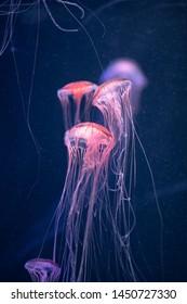 glowing jellyfish chrysaora pacifica underwater