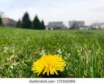 Glowing yellow dandelion sprouting in a rolling green grass field in Plainfield, Illinois