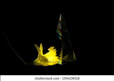 glowing yellow narcissus blossom refracting in a glass prism