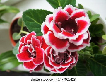 Gloxinia brocade double red flowers