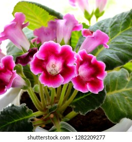 Gloxinia (Sinningia speciosa). Pink purple gloxinia flower houseplants cultivated as decorative or ornamental flower, growing in greenhouse. Spring flowers background with houseplants & window light
