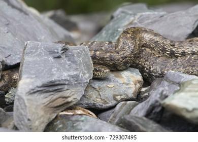 Gloydius halys on the rock