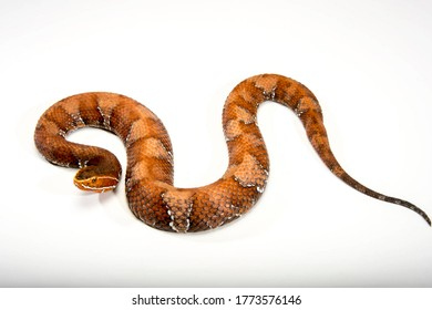 Gloyd's cantil snake and white background