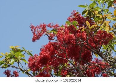 Gluta usitata or Melanorrhoea usitata, Burmese lacquer, theetsee, thitsi, ringas