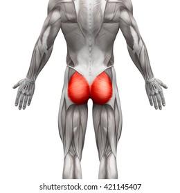 Gluteus Maximus - Anatomy Muscles isolated on white - 3D illustration