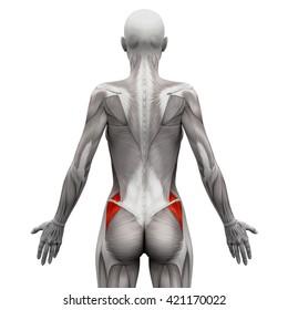 Gluteus Medius - Anatomy Muscles isolated on white - 3D illustration