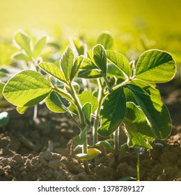 Glycine max, soybean, soya bean sprout growing soybeans on an industrial scale. Young soybean plants with flowers on soybean cultivated field. Agricultural soy plantation background.