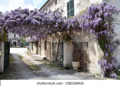 Glycine or Wisteria flowers, in Brantome, Perigord - France