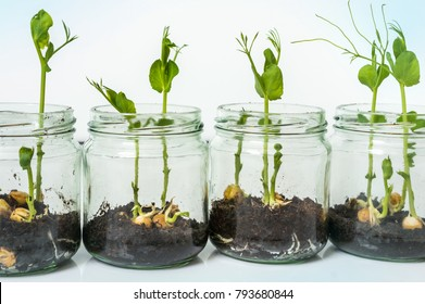 GMO plants in biological laboratory - biotechnology and GMO concept