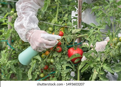 GMO scientist in coveralls and gas mask genetically modifying tomato with spray at tomatoes farm