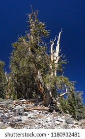 A gnarled, ancient Great Basin Bristlecone Pine tree lives at high altitude in extreme conditions on rocky ground in the White Mountains of California and is thousands of years old.