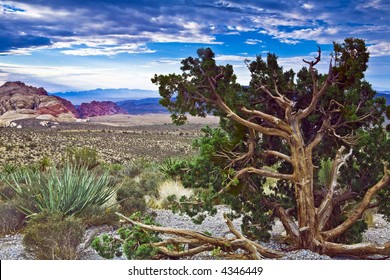 Gnarled juniper and green yucca on overlook at Red Rock Canyon National Conservation Area near Las Vegas, NV