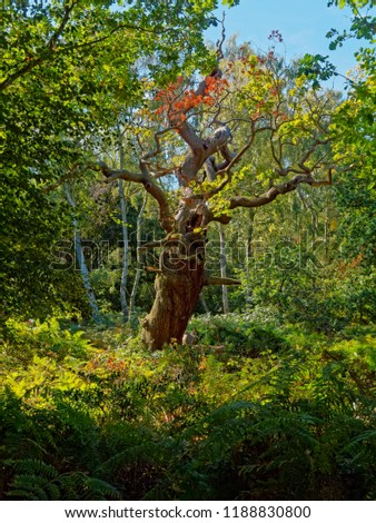 A gnarled, misshapen old oak tree stands in amongst the ferns and undergrowth in Sherwood Forest