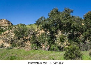 Gnarled oak trees stand in grassy valley near Santa Clarita California.