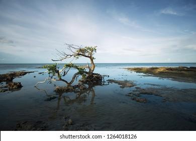 Gnarled Old Mangrove Tree on South Florida Coastline