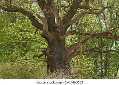 A gnarled old oak tree in spring