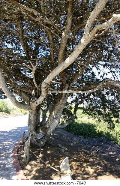 gnarled old tree on side of roadway