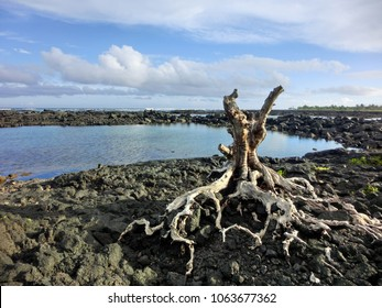 Gnarled stump with twisted roots upon black rugged lava rock coast
