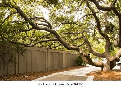 Gnarled Tree on Coligny Beach in Hilton Head, South Carolina.