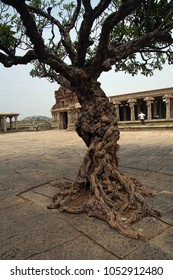 Gnarled tree trunk growing in plaza of Vittala Vishnu Temple at  Vijayanagar, Karnataka, India