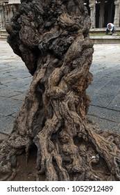 Gnarled tree trunk growing in plaza of Vittala Vishnu Temple at  Vijayanagar, Karnataka, India