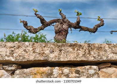 A gnarled, twisted old grapevine is sending out shoots in springtime near the town of Morey-St Denis in the Burgundy region of France.