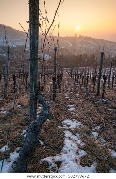Gnarled vine in a vineyard in Winter with snow and sunset