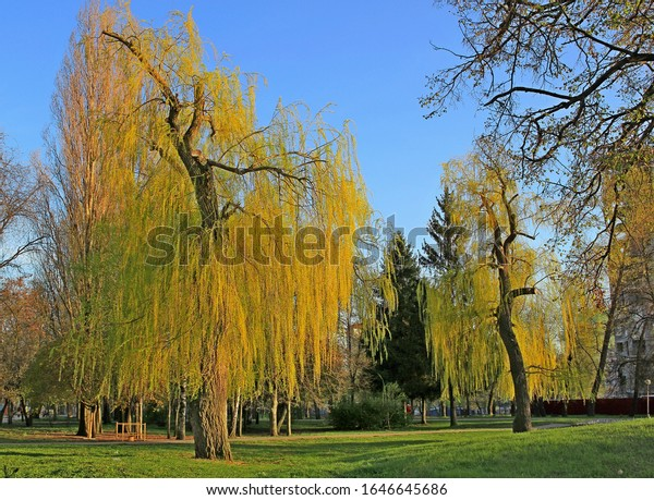 A gnarled weeping willow tree in sunlight with young leaves against  blue sky and green grass