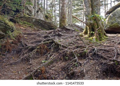 A gnarly carpet of tree roots covers the ground of a high elevation mountain forest on Mount Mitchell in western North Carolina, the highest peak of the Appalachian Mountains